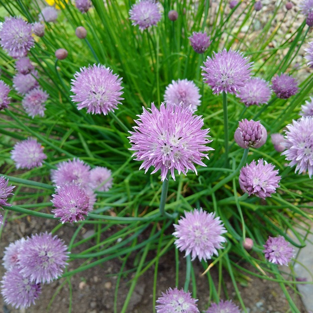homegrown_chives_in_flower
