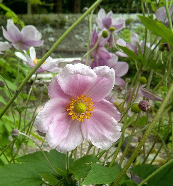 Pale_pink_Japanese_Anemones
