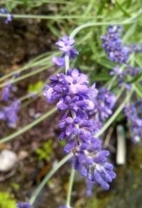 Close_up_lavender_buds