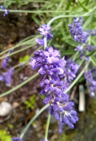 Close_up_lavender_buds