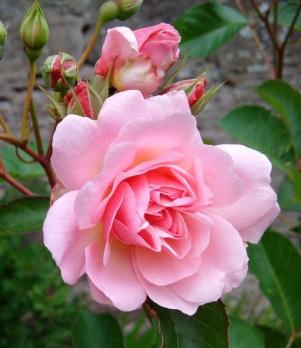 single_rose_Felicia