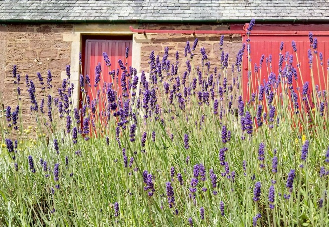 Lavender_growing_in_a_Scottish_garden