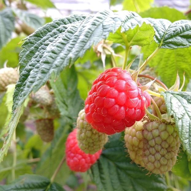 Glen_Ample_raspberries