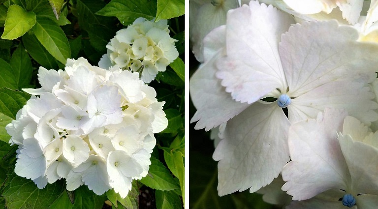 Blooming_white_hydrangea_with_petal_detail