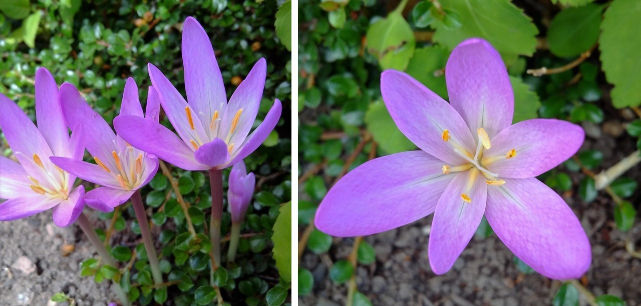 Autumn_crocus