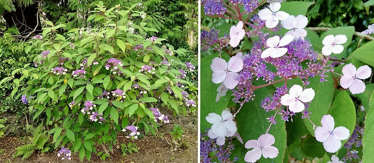 Himalayan_Hydrangea_(hygrangea_macrophylla_lacecap)_with_bloom