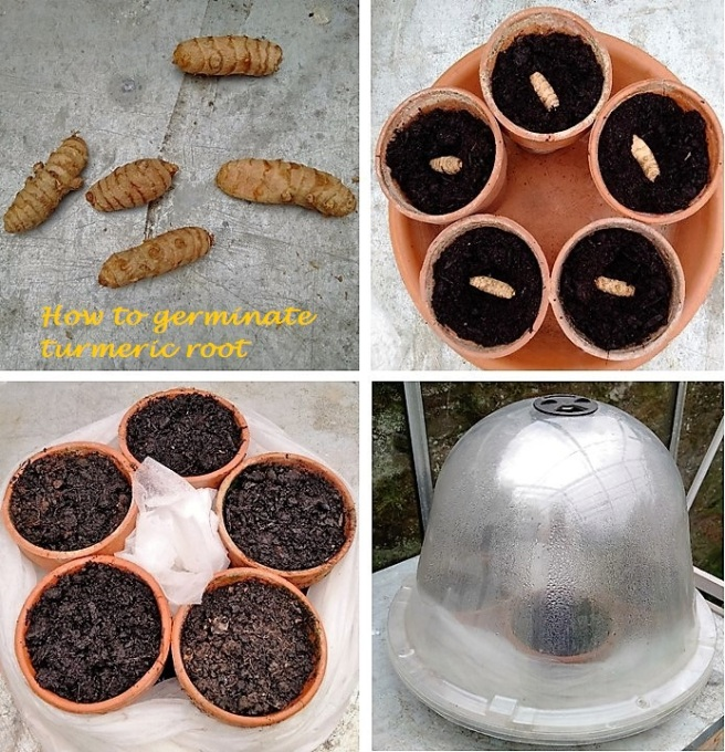 How_to_grow_turmeric_roots