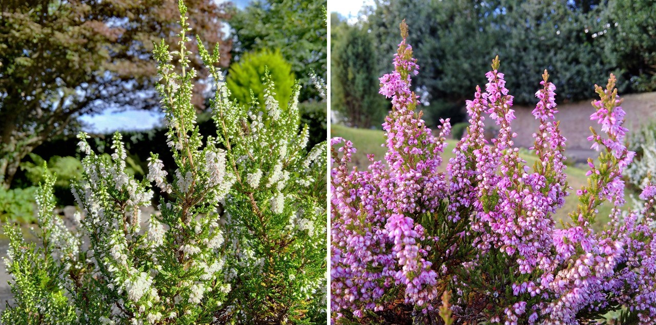 Scottish_White_and_pink_heather_plants