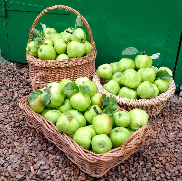 Cooking_apple_harvest