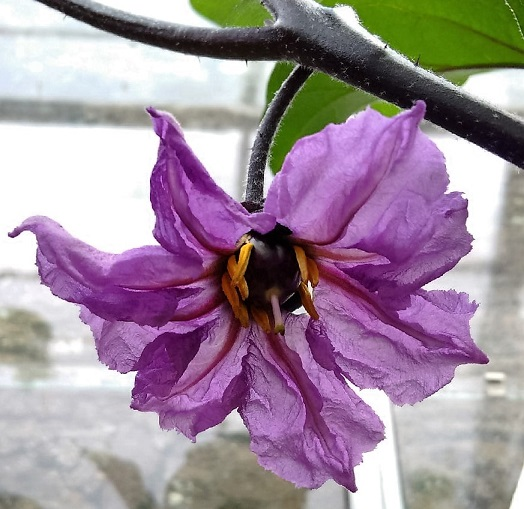 Fruit_forming_in_aubergine_(eggplant)_flower