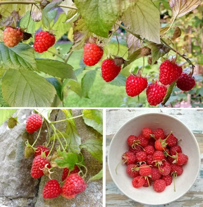 Scottish_raspberries