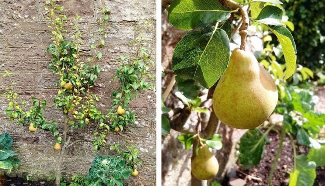 Espalier_growing_Comice_pear