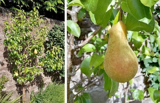 Pear_tree_Concorde_variety