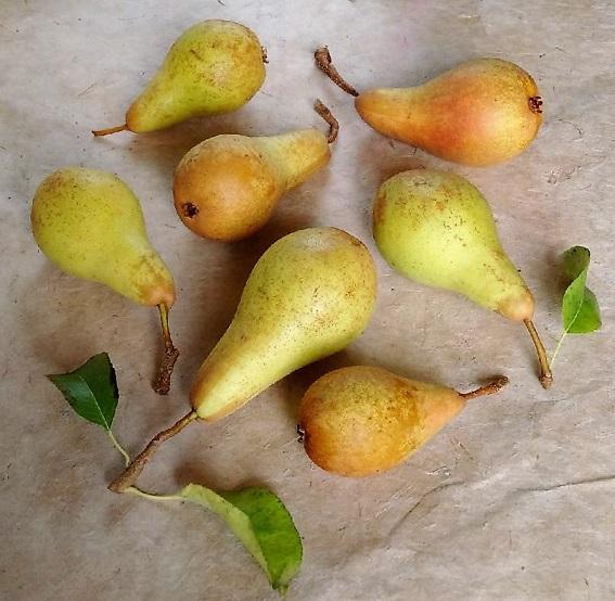 Still_life_Concorde_pears