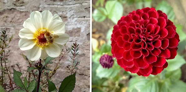 2_varieties_dahlia:_white_and_burgundy