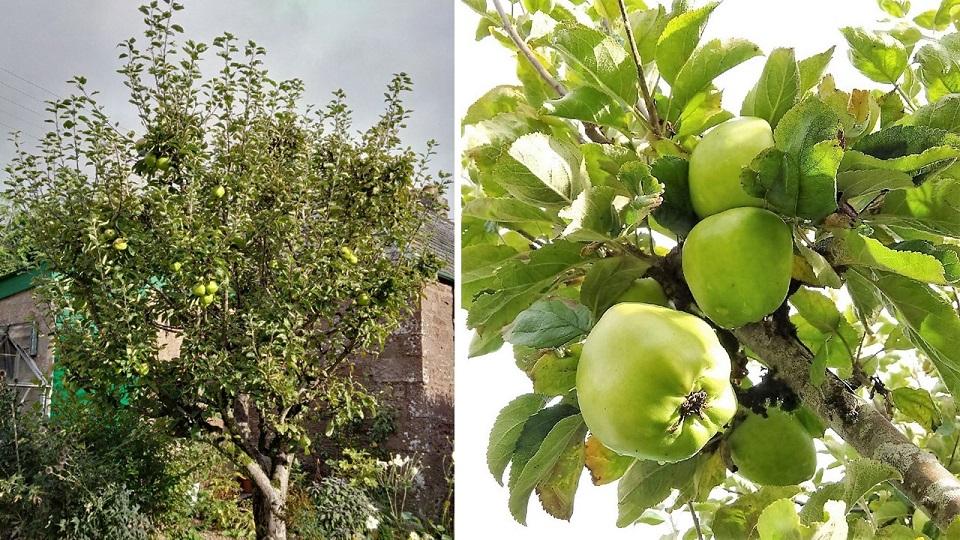 Old_Scottish_apple_tree