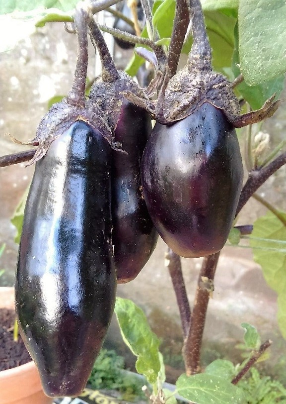Growing aubergine (eggplant) fruit
