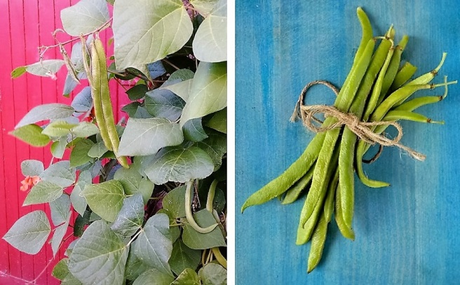 Homegrown_Autumn_runner_beans
