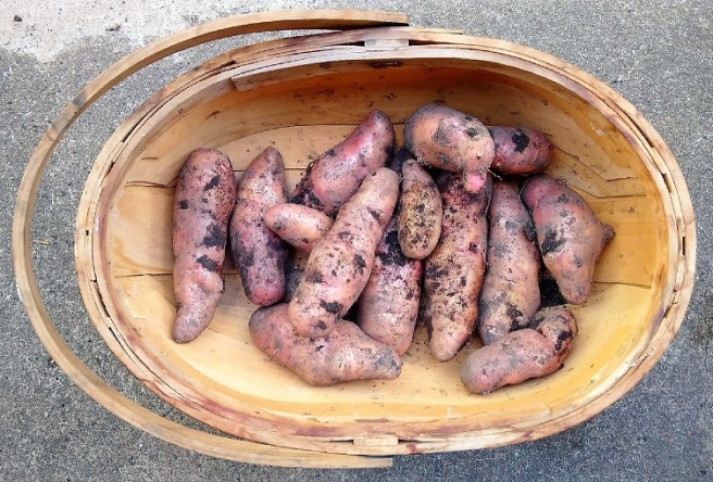 Homegrown_Pink_Fir_potatoes