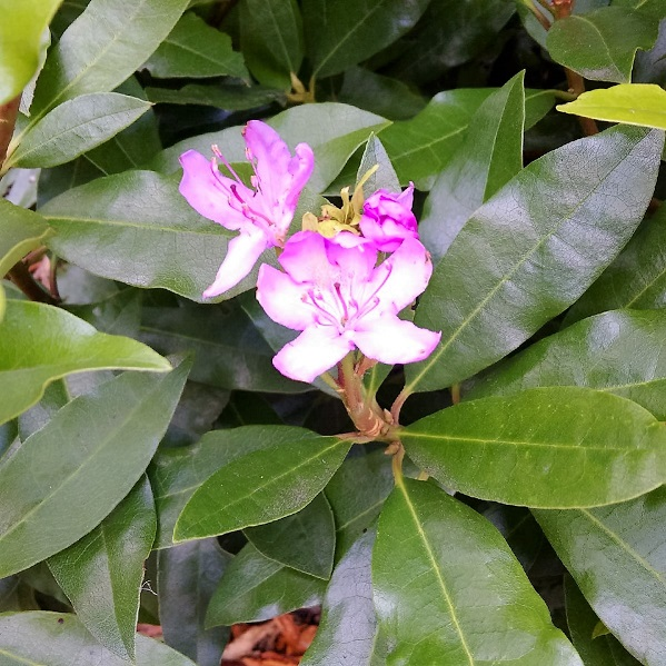 Lilac_flowered_rhododendron