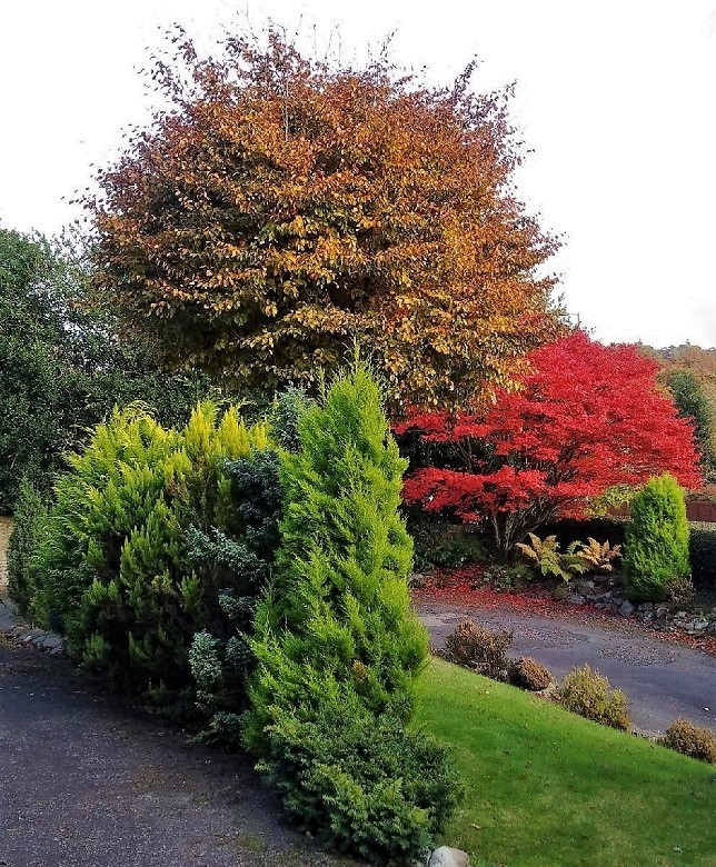 Copper_beech,_Japanese_Maple_and conifers_in_Perthahire_garden