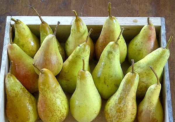 Storing_Concorde_pears