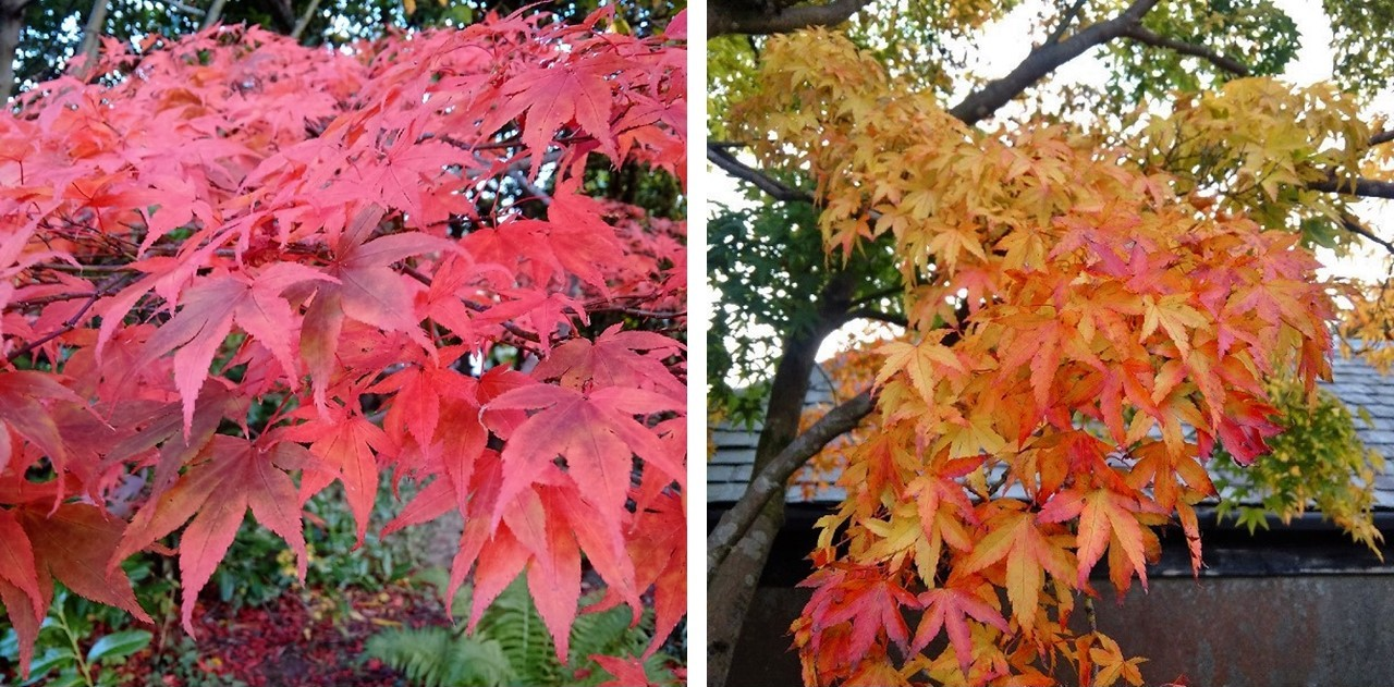 Pink,_red_and_copper_tones_of_Japanese_Maple_leaves