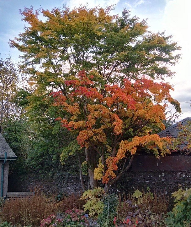 Japanese_Maple_in_Autumn_in_a_Perthshire_garden