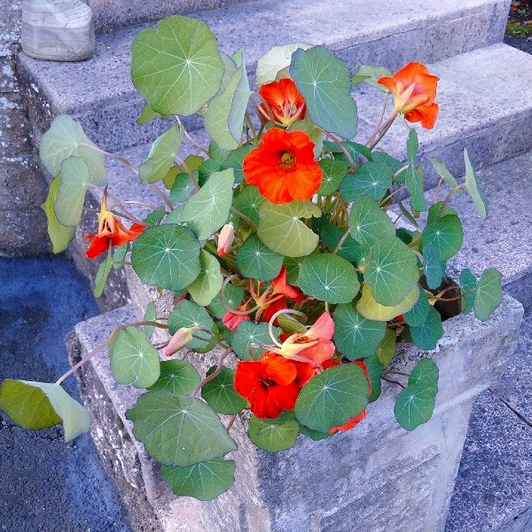 Autumn_display_of_bright_red-orange_nasturtium_flowers