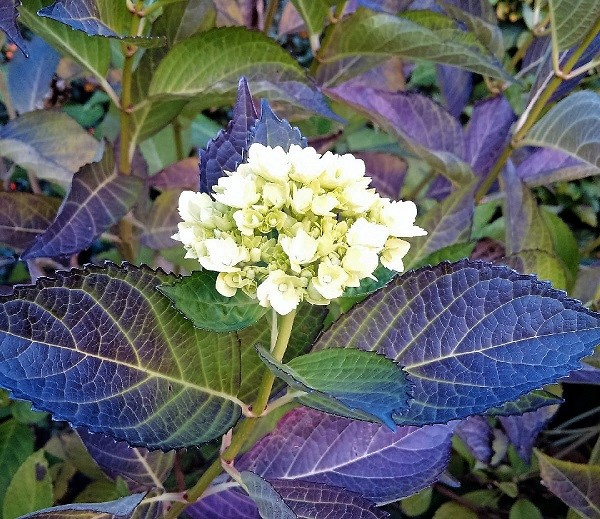 White_Hydrangea_in_Autumn