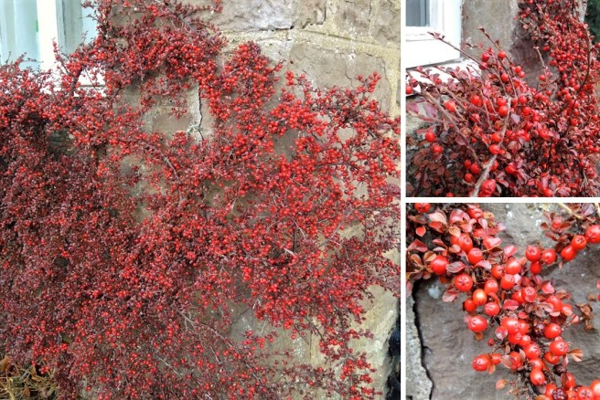 Cotoneaster_horizontalis_red_berries_in_Winter