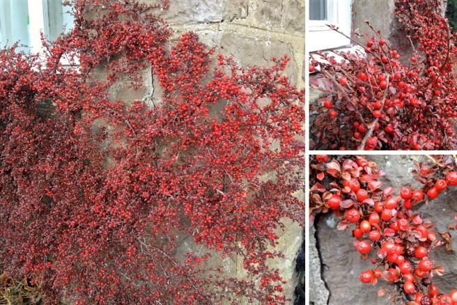 Cotoneaster_horizontalis_red_berries_in_Winter