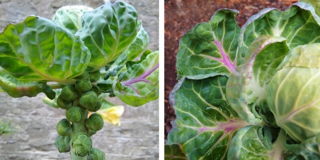 Homegrown_Brussels_sprouts_and_sprout_tops