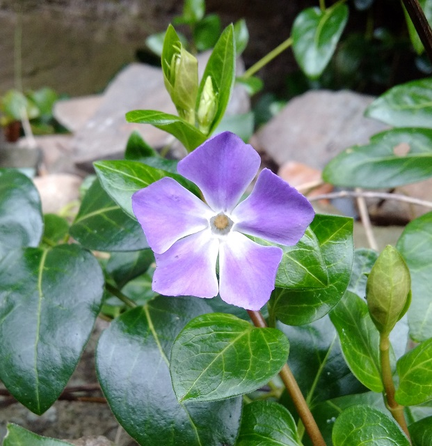 Winter_flowering_Periwinkle