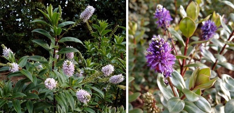 Winter_flowering_hebes