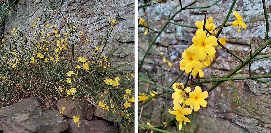 Winter_flowering_yellow_jasmine