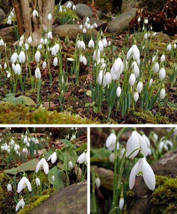 Snowdrops_in_Scottish_garden