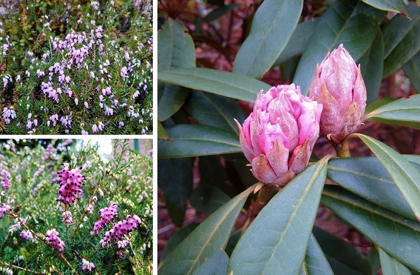 Pink_heathers_and_pink_rhododendron_buds