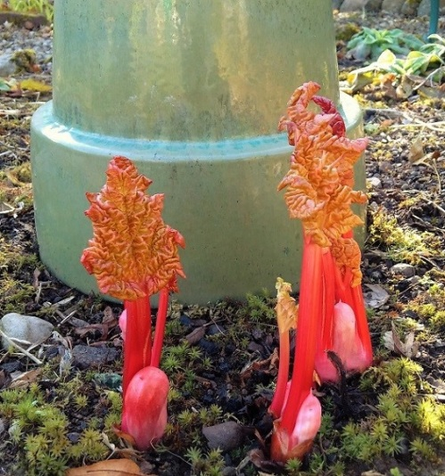 Homegrown_forced_rhubarb_in_Scotland_in_February