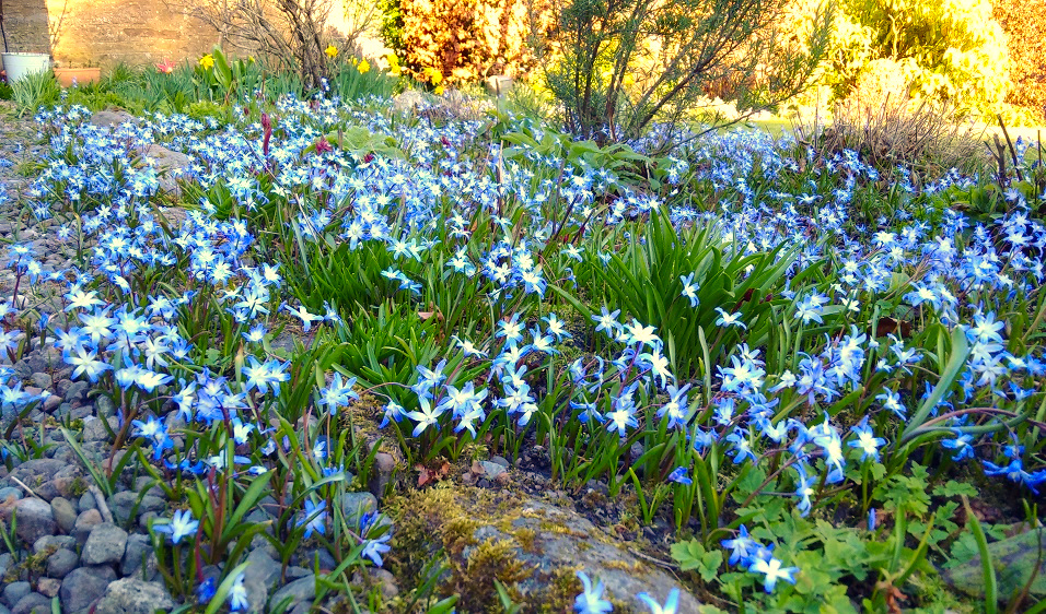 Flowerbed_ and_pathways_covered_in_Chionodoxa
