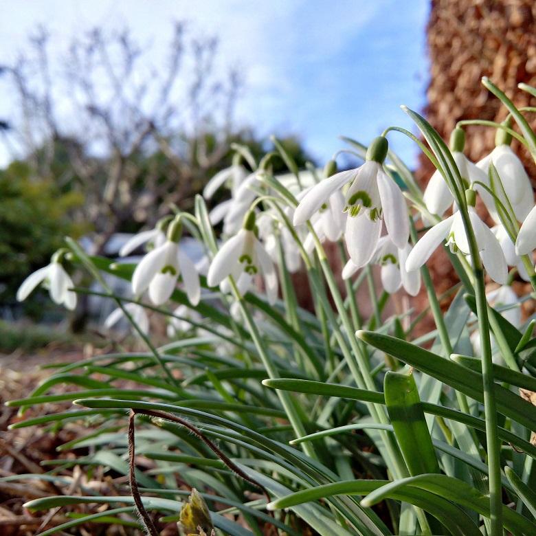 Snowdrops_in_full_bloom