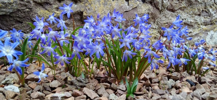 Chionodoxa_growing_in_gravel_path