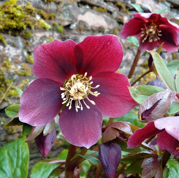 Single_dark_purple_red_hellebore_bloom