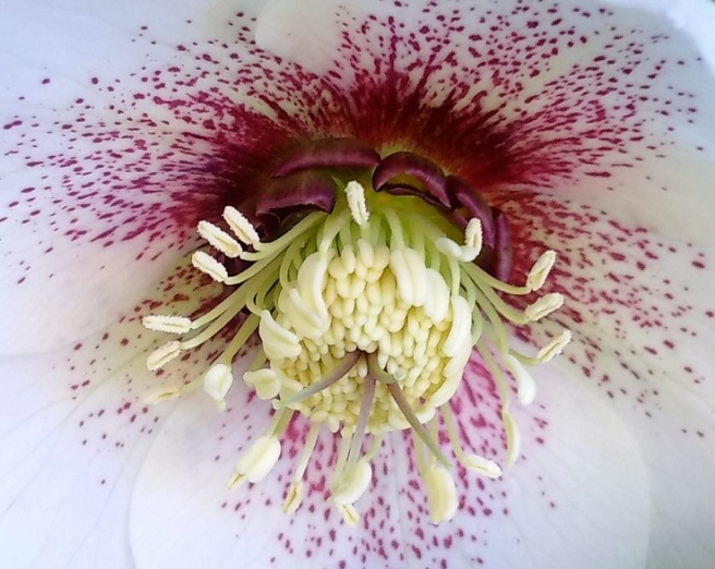 Centre_of_white_hellebore
