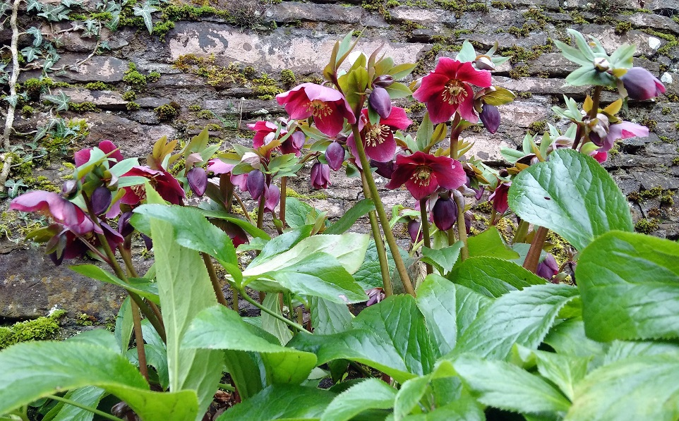 Dark_red_purple_hellebores