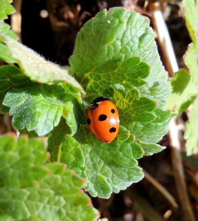 Ladybird_on_geranium_leaf