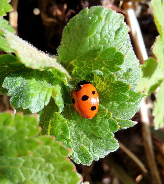 Ladybird_on_geranium_leaf