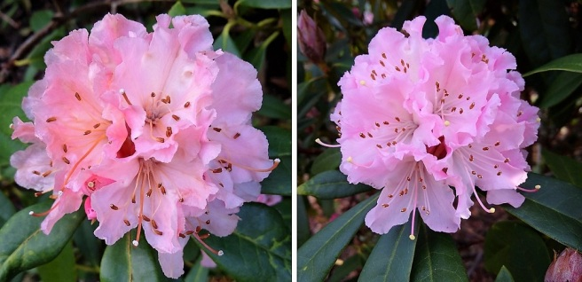 Two_subtle_pink_flowering_rhododendron_flowers
