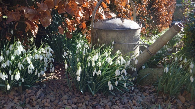 Clumps_of_snowdrops_under_a_beech_hedge