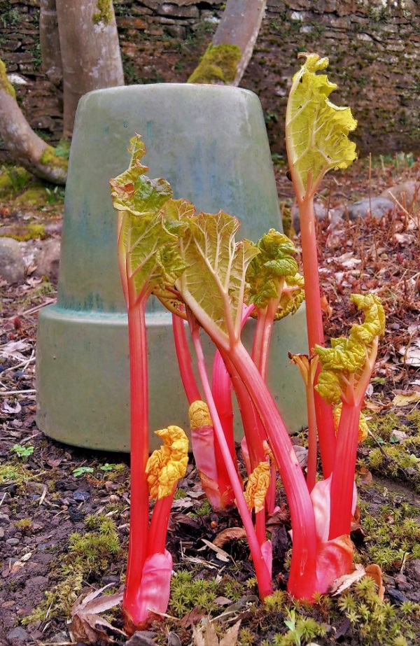 Forced_rhubarb_ready_for_picking
